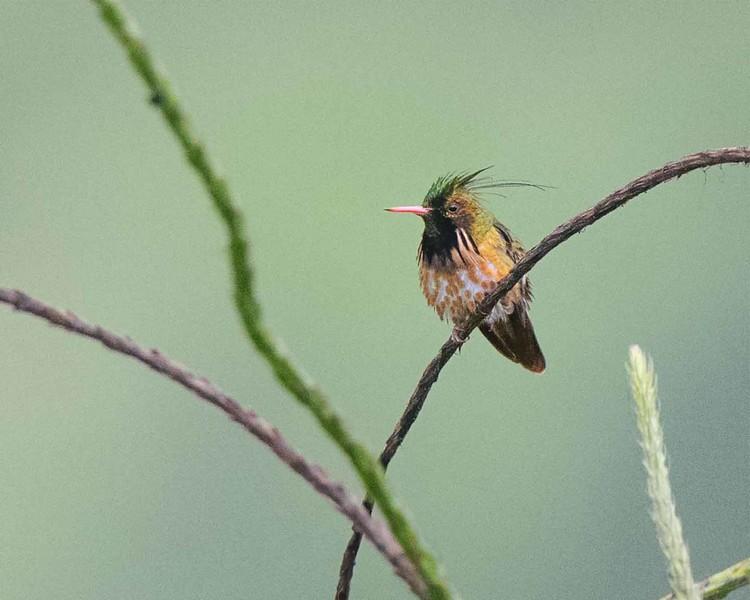 Black-crested Coquette (male)