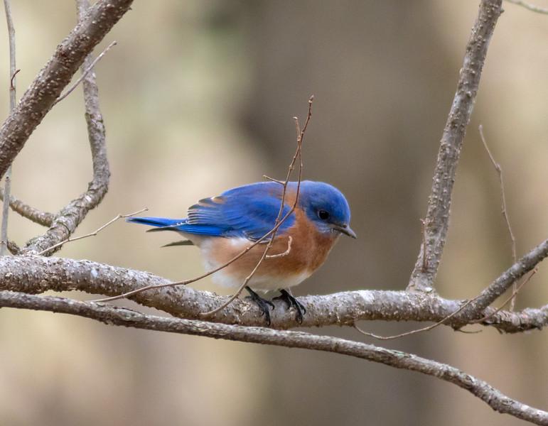 20190203-StellaMO-BlueBirds-1.jpg