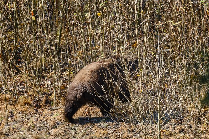 Grizzly Bear DSCF6944.jpg