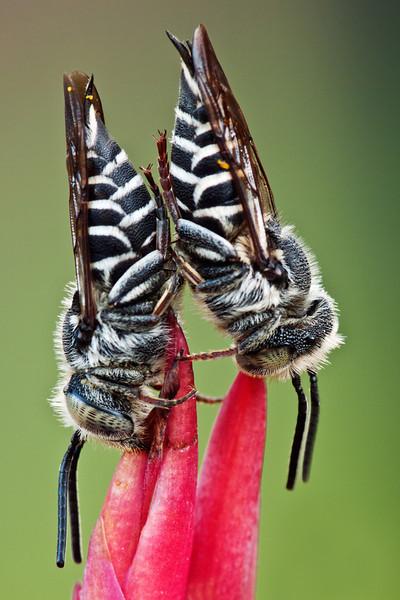 Leaf Cutter Bee's