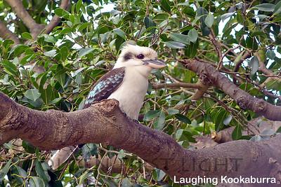 Laughing Kookaburra, Australia
