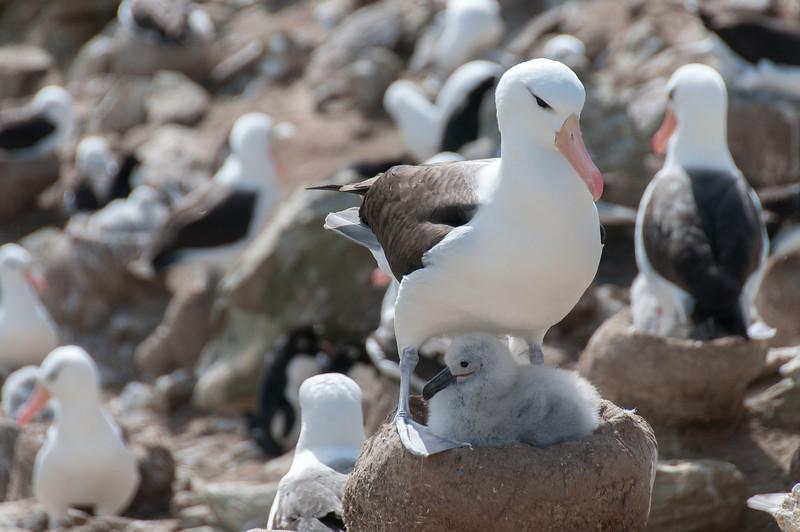 Albatrosses in New Island, Falkland Islands