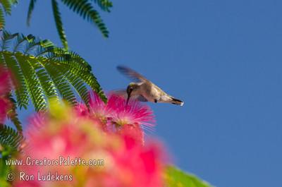 Albizia julibrissin 'Fan Silk'  (Flame Mimosa - Silk Tree)