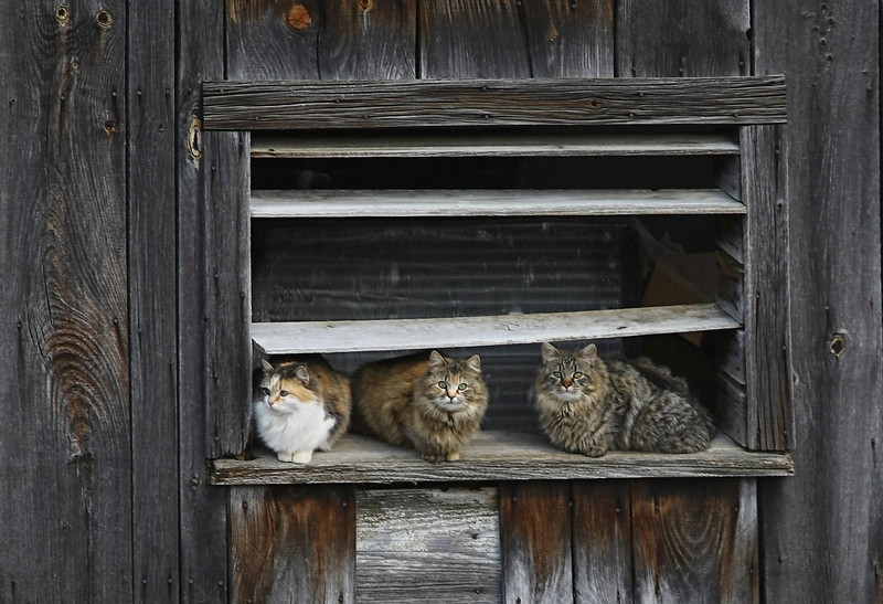 Barn Cats -final.jpg