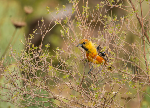 Hooded Oriole immature_DWL2584.jpg