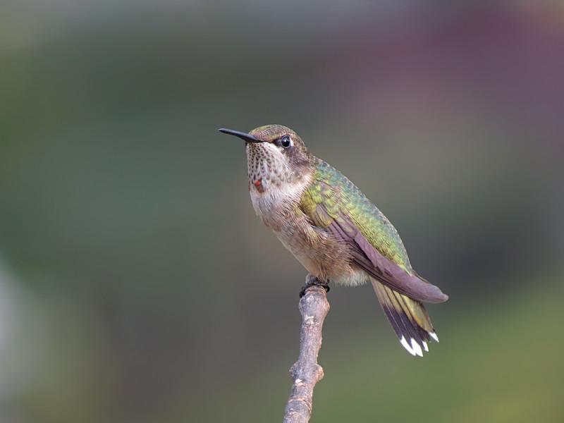 sx50_hummingbird_boas_253.jpg