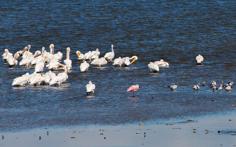 White Pelicans, Roseatte Spoonbill, Royal Tern and small flock of Gulls