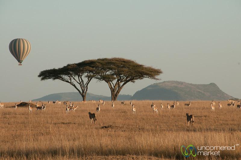 Cheetah Brothers Check Out Gazelles - Serengeti, Tanzania