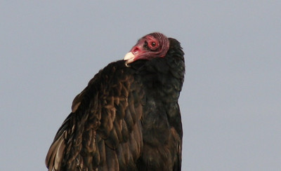 Turkey Vulture Slideshow