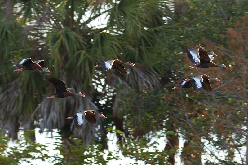 whistling duck flock