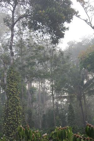 India Coffee Plantation 2012