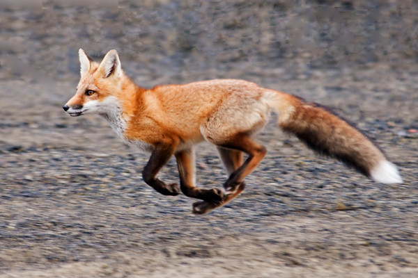 Red Fox - Cohasset, MN