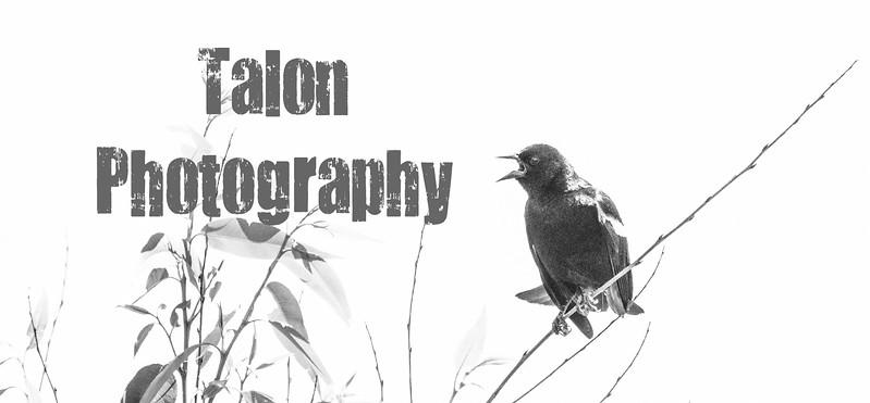 blackbird TP.jpg