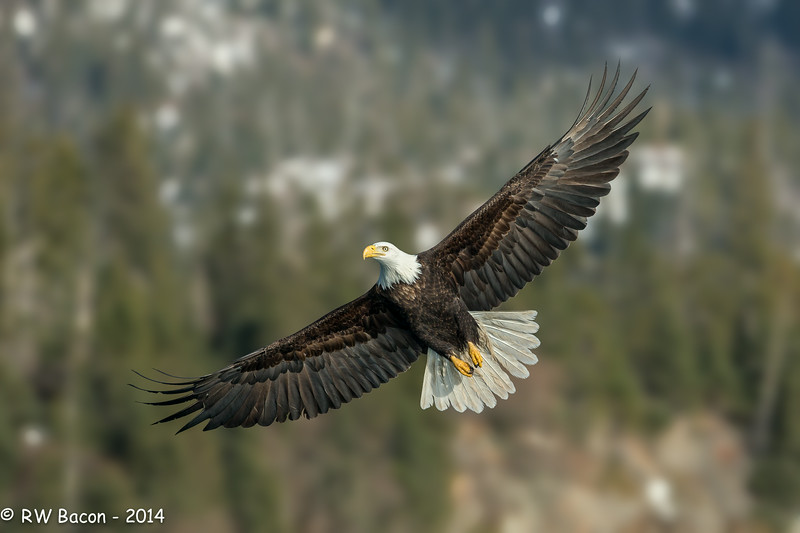 Homer Eagle - Spread Eagle.jpg