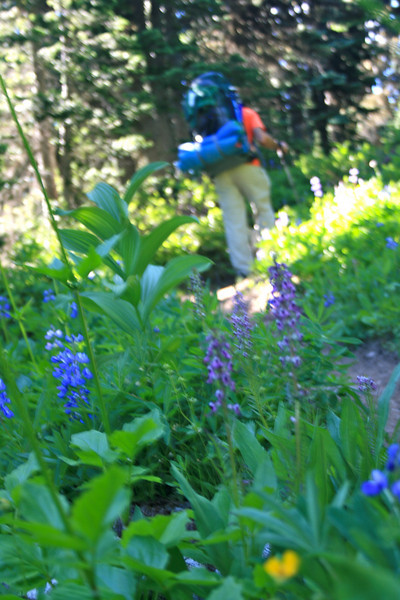 Lupine and Hiker.