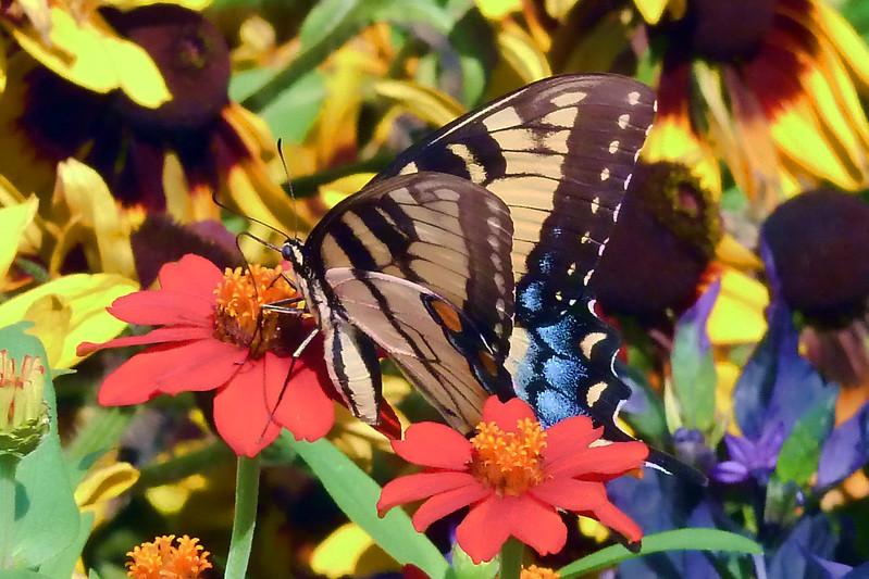 Cantigny Butterfly.jpg