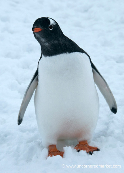 Curious Young Penguin - Antarctica