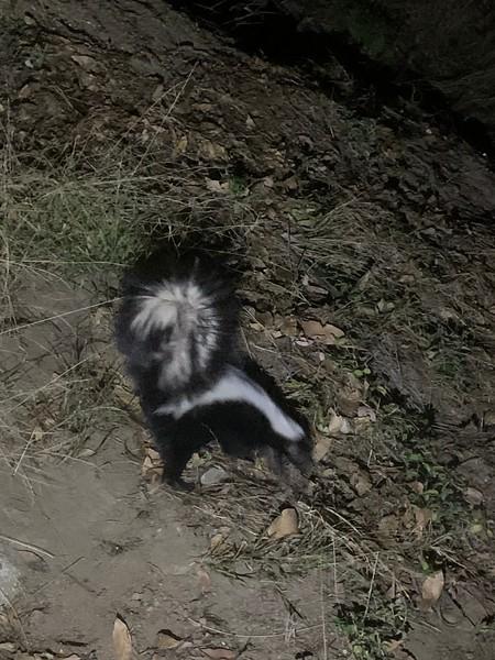 2019.10.05 Skunk sighting