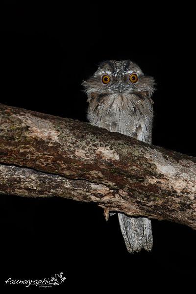Tawny Frogmouth - Juvenile