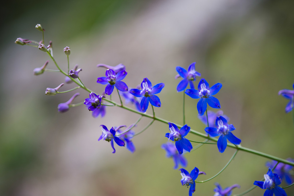 . Larkspur along Fish Canyon Falls trail in Angeles National Forest on Friday, February 27, 2015. Duarte received a $25,000 grant from Los Angeles County to rehabilitate the trail. (Photo by Sarah Reingewirtz/Pasadena Star-News)