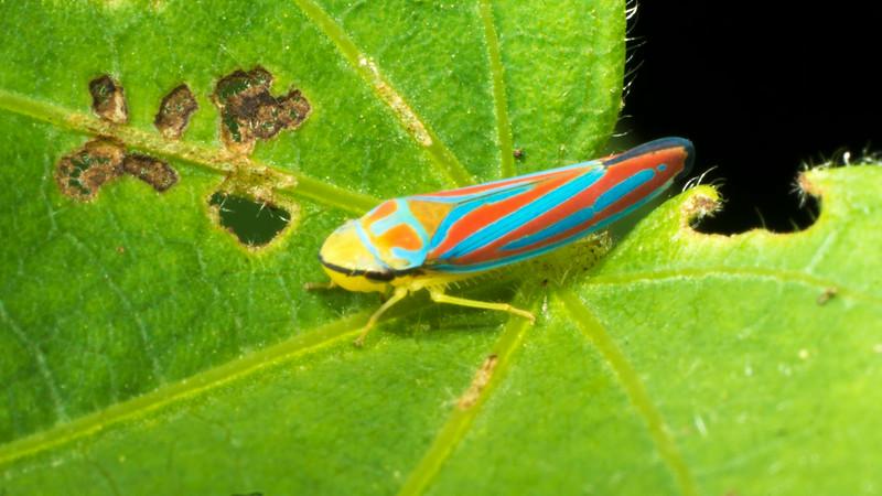 Graphocephala coccinea quadrivittata - Red-banded Leafhopper