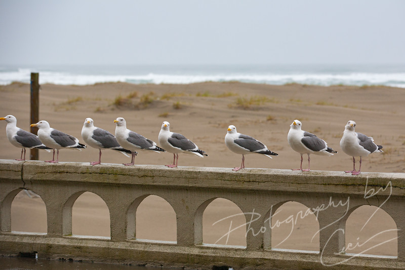Sea Gulls at Seaside