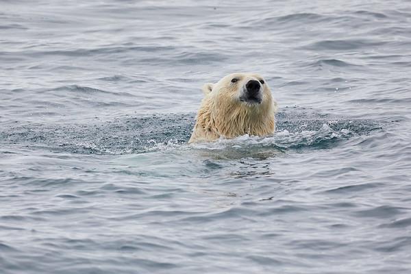 Swimming Polar Bears Svalbard Norway 2018