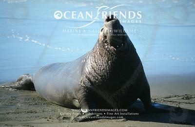 Sea Lion Prints