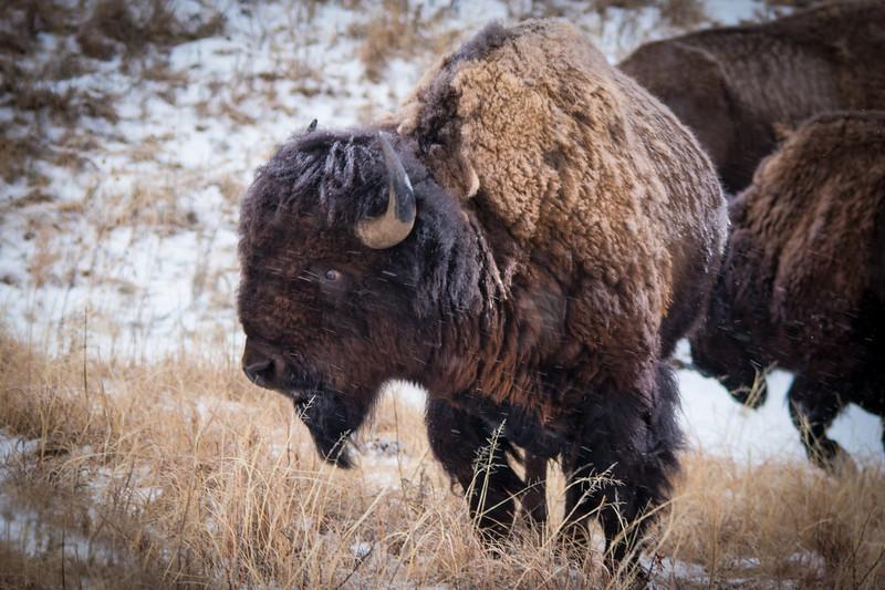Buffalo Hunt (10).JPG