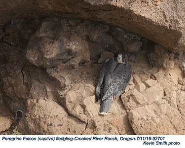 Peregrine Falcon J92701.jpg