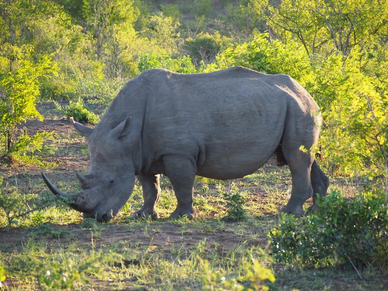 P5046259-white-rhino.JPG
