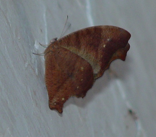 Melanitis leda (Common Evening Brown) dry season form.