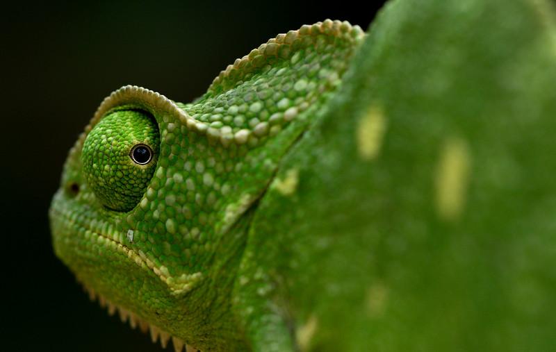 Chameleon-3.jpg