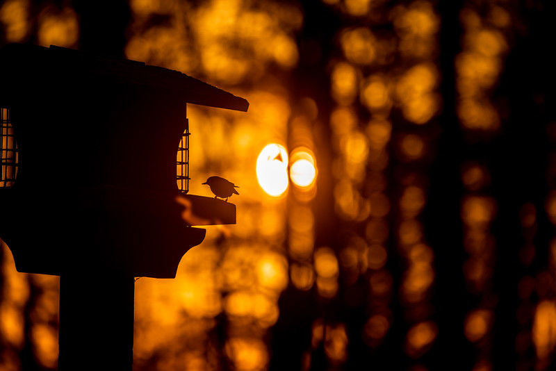 Red-breasted Nuthatch at feeder backlit backlighting Skogstjarna Carlton County MN  IMGC9366.jpg