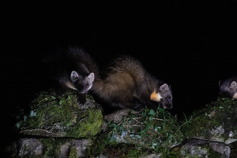 Pine Marten and Kits