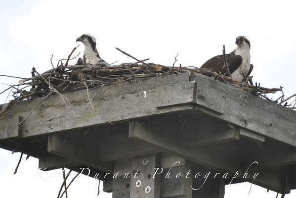 First Real Look At Osprey Babies