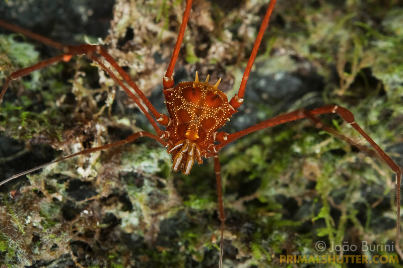 Red harvestman (Gonyleptidae, Mitobatinae) in Intervales State Park, Brazil. South-east atlantic forest reserve, UNESCO World Heritage Site.