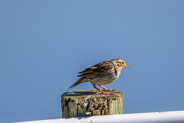 7-22-15 Savannah Sparrow