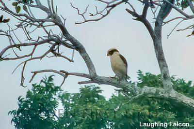Laughing Falcon, Brazil