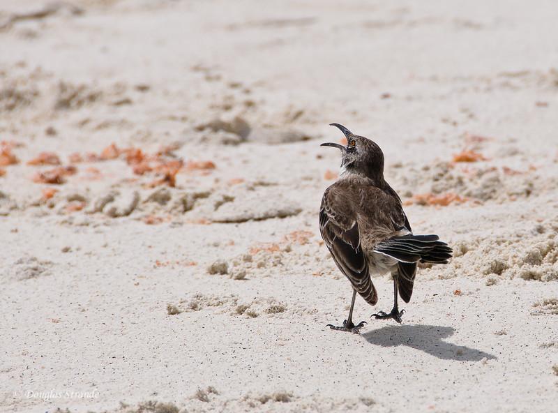 Mockingbird at Gardner Bay, Espanola Island