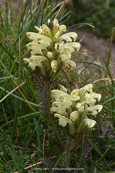 Pedicularis leucodon