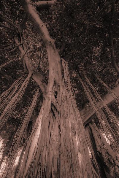 Banyan Tree 25
