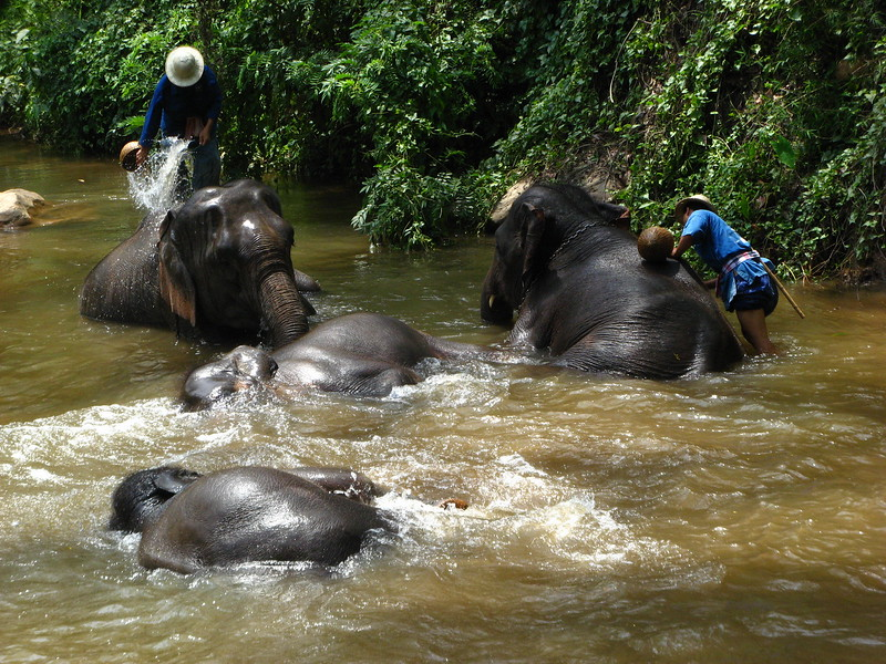 Bathing elephants at Mae Sa Elephant Camp, Chiang Mai province.