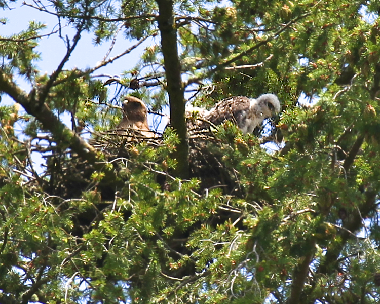 "May 29, 2012 Redtailed hawk chicks with their mother on the nest ""Geeze..it's a long way down there!"