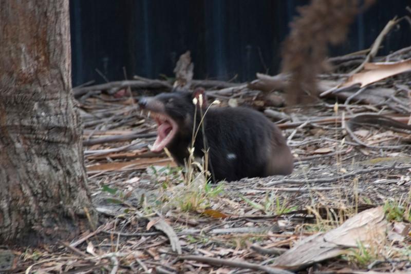 Roarrr - Tasmania, Australia