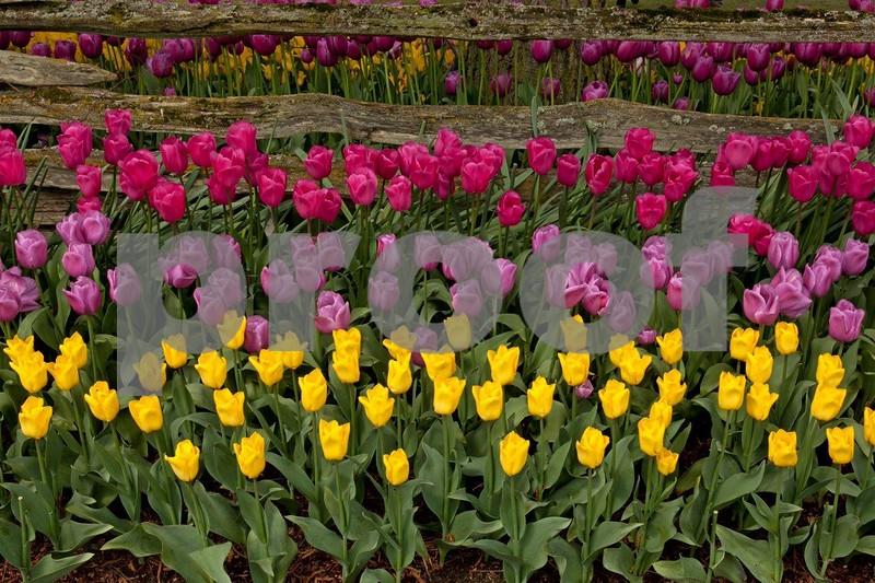 Tulips 5358.jpg