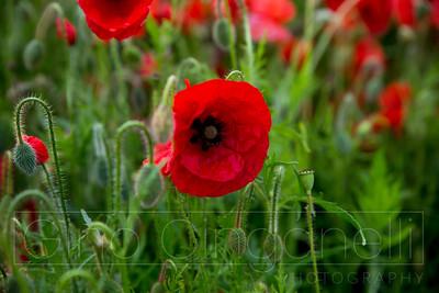 The Faversham Poppy Field