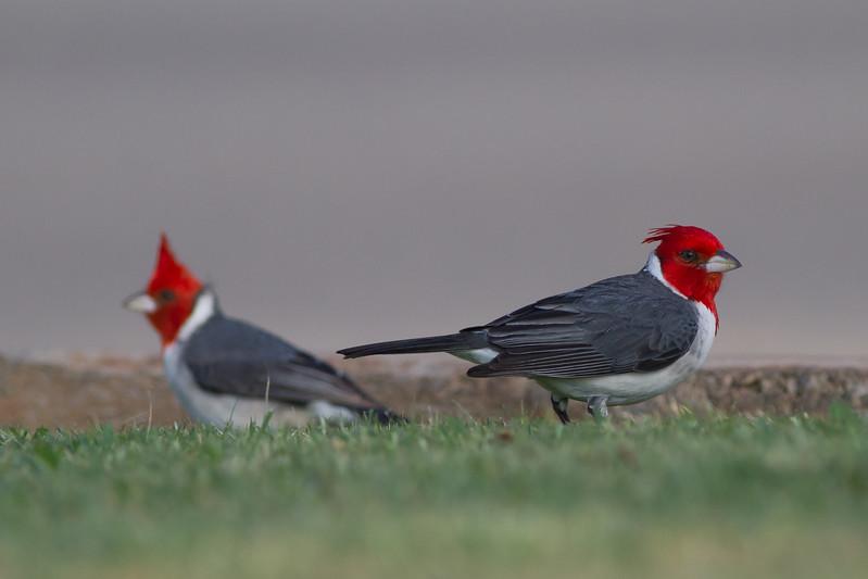 Red-crested Cardinal - Maui, Hawaii, USA