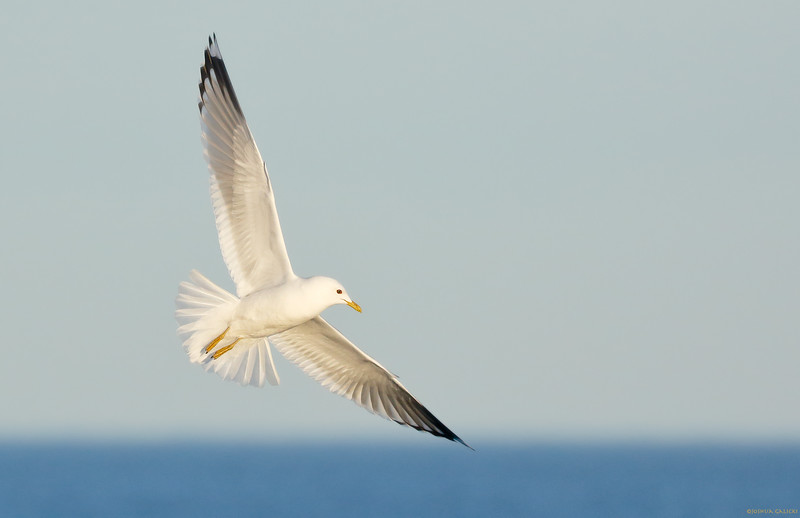 Mew Gull looking angelic