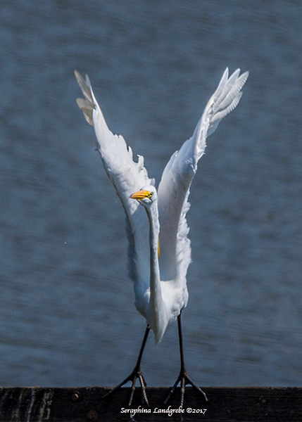 _DSC9265Great Egret.jpg